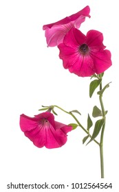 Studio Shot of Fuchsia Colored Petunia Flowers Isolated on White Background. Large Depth of Field (DOF). Macro.