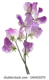 Studio Shot of Fuchsia Colored Sweet Pea Flowers Isolated on White Background. Large Depth of Field (DOF). Macro.