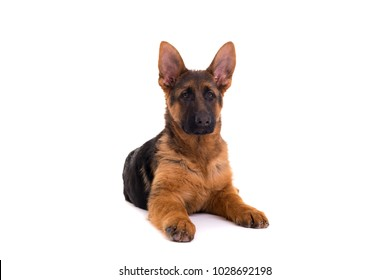 Studio Shot of a German Shepherd Dog puppy posing isolated over white background