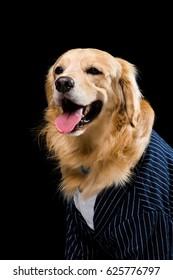 Studio shot golden dog