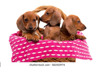 Studio shot of a group of beautiful teckel puppies, isolated over white background