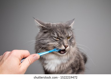 studio shot of human hand brushing teeth of young blue tabby maine coon cat in front of gray background