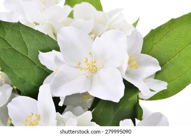 Studio Shot of jasmin branch with flowers /Philadelphus  coronarius/ ,Isolated white background