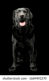 Studio shot of a lovely labrador retriever sitting and seems satisfied