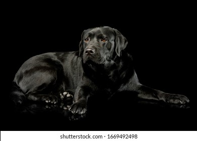 Studio shot of a lovely labrador retriever lying and looking curiously