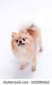 Studio shot of lovely pomeranian spitz. Miniature pomeranian spitz puppy over white background. Beautiful mini dog.