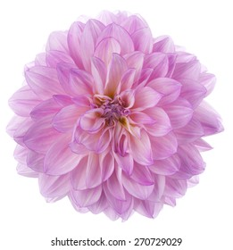 Studio Shot of Magenta Colored Dahlia Flower Isolated on White Background. Large Depth of Field (DOF). Macro. Symbol of Elegance, Dignity and Good Taste.