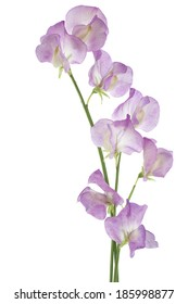 Studio Shot of Magenta Colored Sweet Pea Flowers Isolated on White Background. Large Depth of Field (DOF). Macro.