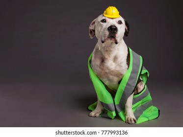 Studio shot of a male Pit Bull dog wearing a neon yellow with reflective stripes safety vest, and a tiny funny looking yellow safety helmet on his head.