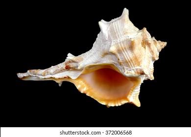 Studio shot of a Mediterranean sea shell