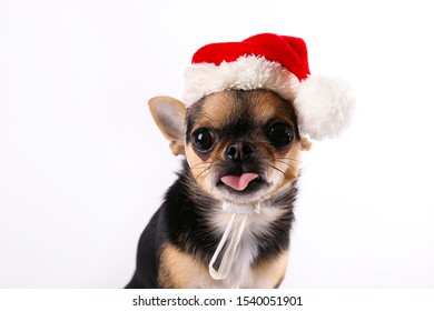 Studio shot of mini chihuahua with big ears & bulging eyes sitting over isolated background. Short-haired black white and brown miniature doggy wearing Christmas themed clothing. Close up, copy space.