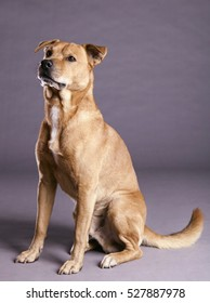Studio shot of a mixed breed dog on gray background.