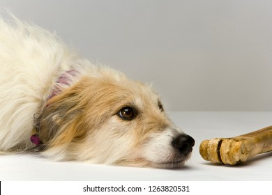 Studio shot on plain background of a long-haired lurcher bitch lying patiently next to a well-chewed bone