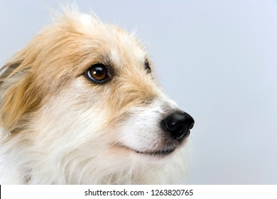 Studio shot on plain background of a pretty long-haired lurcher bitch head in profile
