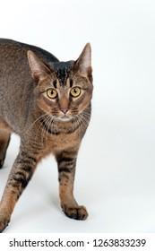 Studio shot on white seamless of a cute part-Abyssinian young male cat with stunning amber coloured eyes standing looking at the camera