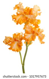 Studio Shot of Orange Colored Iris Flowers Isolated on White Background. Large Depth of Field (DOF). Macro.