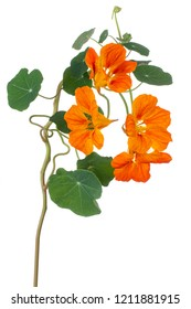 Studio Shot of Orange Colored Nasturtium Flower Isolated on White Background. Large Depth of Field (DOF). Macro. Close-up.