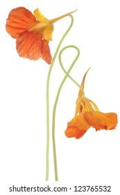 Studio Shot of Orange Colored Nasturtium Flowers Isolated on White Background. Large Depth of Field (DOF). Macro. Symbol of Patriotism and Conquest.