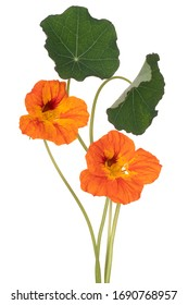 Studio Shot of Orange Colored Nasturtium Flowers Isolated on White Background. Large Depth of Field (DOF). Macro. Close-up.