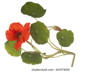 Studio Shot of Orange Colored Nasturtium Flower Isolated on White Background. Large Depth of Field (DOF). Macro.
