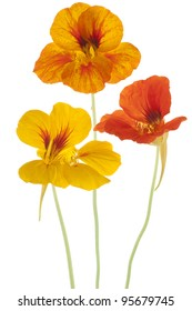 Studio Shot of Orange and Yellow Colored Nasturtium Flowers  Isolated on White Background. Large Depth of Field (DOF). Macro. Symbol of Patriotism and Conquest.