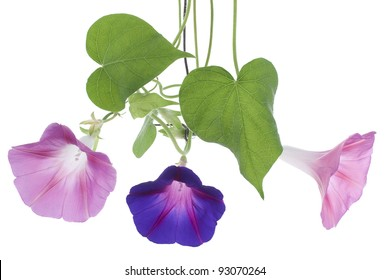 Studio Shot of Pink and Blue Colored Morning Glory Flowers Isolated on White Background. Large Depth of Field (DOF). Macro.