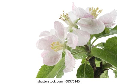 Studio Shot of Pink Colored Blossoming Apple Branch Isolated on White Background. Macro.