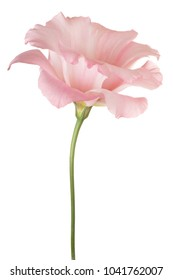 Studio Shot of Pink Colored Eustoma Flower Isolated on White Background. Large Depth of Field (DOF). Macro.