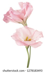 Studio Shot of Pink Colored Eustoma Flowers Isolated on White Background. Large Depth of Field (DOF). Macro.