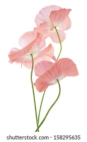 Studio Shot of Pink Colored Poppy Flowers Isolated on White Background. Large Depth of Field (DOF). Macro. Symbol of Sleep, Oblivion and Imagination.
