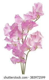 Studio Shot of Pink Colored Sweet Pea Flowers Isolated on White Background. Large Depth of Field (DOF). Macro.