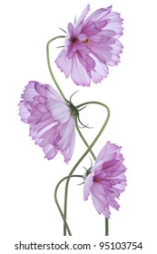 Studio Shot of Purple Colored Cosmos Flowers Isolated on White Background. Large Depth of Field (DOF). Macro.