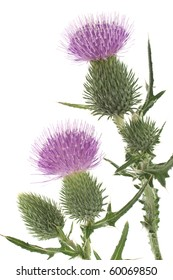Studio Shot of Purple Colored Thistle Isolated on White Background. Large Depth of Field (DOF). Emblem of Scotland. Symbol of Nobility.