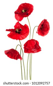 Studio Shot of Red Colored Poppy Flowers Isolated on White Background. Large Depth of Field (DOF). Macro.