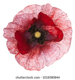 Studio Shot of Red Colored Poppy Flower Isolated on White Background. Large Depth of Field (DOF). Macro.