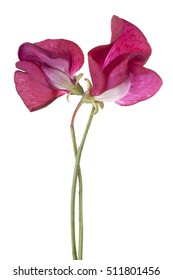 Studio Shot of Red Colored Sweet Pea Flowers Isolated on White Background. Large Depth of Field (DOF). Macro.
