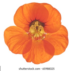 Studio Shot of Red and Orange Colored Nasturtium Isolated on White Background. Large Depth of Field (DOF). Macro. Symbol of Patriotism and Conquest.