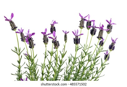 Studio shot of row of purple french lavender flowers on green stems on white background