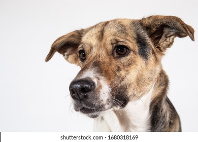 studio shot of Sheperd dog looking at aside on white backgtound