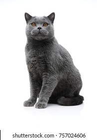 Studio shot of a short-haired cat of British breed on a white background