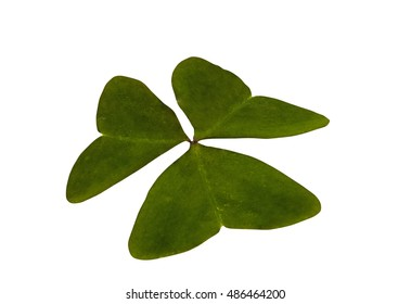 Studio shot of single isolated green three leaf clover on white background