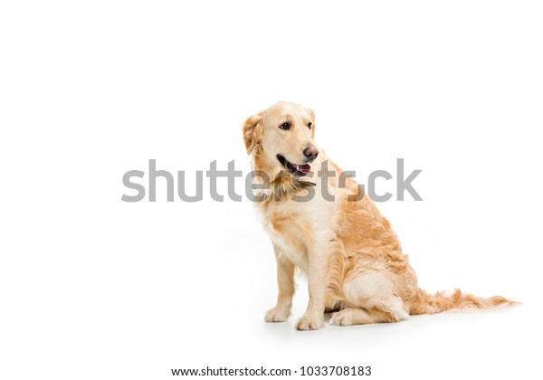 Studio shot of sitting golden retriever isolated on white