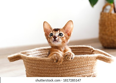 Studio shot of small cute abyssinian kitten sitting in the basket at home, white wall background. Young beautiful purebred short haired kitty. Close up, copy space.