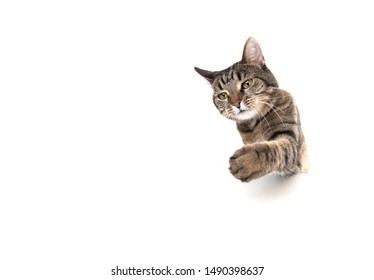 Studio shot of a tabby domestic shorthair cat isolated on white background banner with copy space begging for treats stretching out paw reaching for food