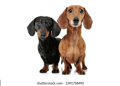 Studio shot of two adorable Dachshund looking curiously at the camera - isolated on white background.