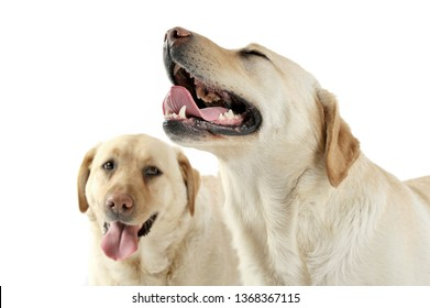 Studio shot of two adorable Labrador retriever looking satisfied - isolated on white background.
