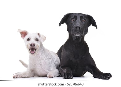 Studio shot of two adorable mixed breed dog lying on white background.