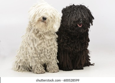 Studio shot of two adorable Puli sitting on white background.