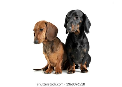 Studio shot of two adorable short haired Dachshund looking curiously - studio shot, isolated on white background.
