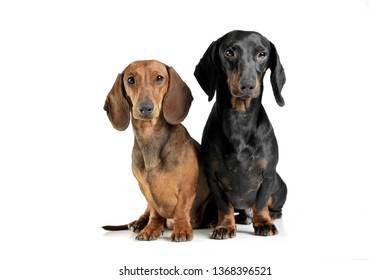 Studio shot of two adorable short haired Dachshund looking curiously at the camera - studio shot, isolated on white background.